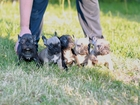 Фото в Собаки и щенки Продажа собак, щенков Родились щенки французского бульдога - Два в Екатеринбурге 0