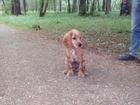 Изображение в Help! Находки 20 Июня потерялась собака Английский кокер в Екатеринбурге 0