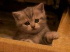 Фотография в Кошки и котята Продажа кошек и котят Скотиш страйт мальчик. Отличные природные в Екатеринбурге 5000