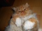 Изображение в Потерянные и Найденные Потерянные Потерялась кошка 15 июля в саду Надежда ул. в Екатеринбурге 0
