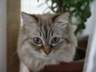 Изображение в Кошки и котята Вязка Кот красавец, очень похож на невского маскарадного, в Екатеринбурге 0