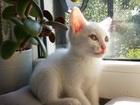 Фотография в Потерянные и Найденные Потерянные Маленькому котенку по имени Феликс срочно в Екатеринбурге 0