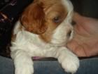 Фото в Собаки и щенки Продажа собак, щенков Племенной кинологический питомник продает в Санкт-Петербурге 70000