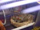 Фото в Домашние животные Птички ПРОДАЮТСЯ ЗЕБРОВЫЕ АМАДИНЫ . СЕМЕЙКА из 5 в Екатеринбурге 1500