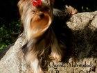 Фотография в Собаки и щенки Продажа собак, щенков Красивые щенки Йорка от питомника Мари Бижу, в Екатеринбурге 25000