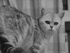 Фото в   Отдам британскую кошку окраса мрамор на серебре, в Екатеринбурге 0
