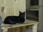 Фото в Потерянные и Найденные Найденные Найдена черная кошка на улице Готвальда. в Екатеринбурге 0