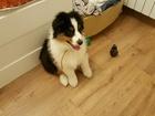Фотография в Собаки и щенки Продажа собак, щенков Предлагается очаровательная австралийская в Екатеринбурге 20000
