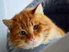 Фото в   Отдается в добрые руки рыжий глкш кот Санта. в Екатеринбурге 0