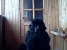 Фото в Собаки и щенки Вязка собак ньюфаундлен сука. 2года. окрас черный ищет в Екатеринбурге 0
