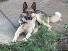 Изображение в Собаки и щенки Продажа собак, щенков Двухгодовалый пёс среднего роста (65 см. в Екатеринбурге 0