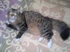 Фотография в Кошки и котята Вязка Кошке 3 года, родители-сибирские кошки. Ищем в Екатеринбурге 0
