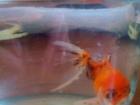 Свежее изображение Другие животные Золотая рыбка и сомы 38971125 в Екатеринбурге