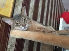 Смотреть foto Вязка Ищем абиссинскую кошечку на вязку 39032880 в Екатеринбурге