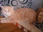 Просмотреть foto Другие животные Вязка с шотландским котом, Шотландский 41390982 в Екатеринбурге