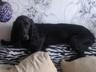 Смотреть фотографию Вязка собак Русский охотничий спаниель 1 год и 4 месяца окрас метис (черный), кобель 42116460 в Екатеринбурге
