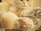 Скачать фотографию Другие животные Вязка шотландский, вислоухий 2 годика 54246864 в Екатеринбурге