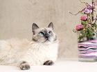 Просмотреть foto  Кошка Баунти 5л, , а-ля невская маскарадная 56807640 в Екатеринбурге