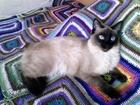 Новое foto Вязка кошек Кошечка мегконский бобтейл ищет партнера 56949839 в Екатеринбурге