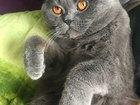 Просмотреть foto Вязка кошек ищем кошку для случки с опытным котом 59472382 в Екатеринбурге