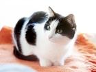 Скачать изображение  Победа-Кисаня, 3г, Кошка, покоряющая сердца 62341992 в Екатеринбурге