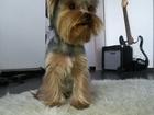 Новое фото Вязка собак Йоркширский терьер мальчик 66534002 в Екатеринбурге