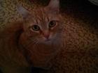 Скачать фото  Рыжая кошка красавица ищет хозяев 66629220 в Екатеринбурге