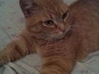 Новое изображение  Рыжая кошка красавица ищет хозяев 66629588 в Екатеринбурге