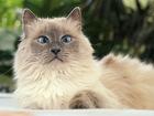 Свежее фотографию  Кошка Баунти 5л, , а-ля невская маскарадная 66823032 в Екатеринбурге