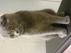 Увидеть фотографию  Вислоухая шотландка ищет котика на вязку 68205374 в Екатеринбурге