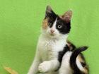 Скачать foto  Финелла - котенок-девочка, 2 мес, 71675962 в Екатеринбурге