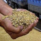 Продам пшеницу фураж 5 класса