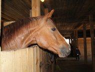 Постой для частных лошадей, Аренда лошадей, Заездка, тренинг Конно-спортивная шк