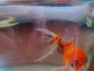 Золотая рыбка и сомы Золотая – 11 см вместе с хвостом  Два сома – 14 см вместе с