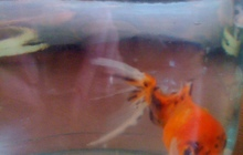 Золотая рыбка и сомы