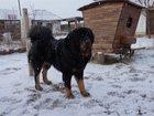 Фотография в Прочее,  разное Разное Питомник Kingevpator предлагает щенков тибетского в Евпатория 0