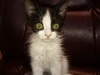 Фотография в  Отдам даром - приму в дар отдам котика, мальчик 1, 5 месяца, пушистый, в Евпатория 0