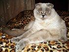 Фотография в Кошки и котята Вязка молодой, здоровый, привитый котик, редкостного в Феодосия 0
