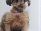 Просмотреть изображение Вязка собак Петербургская орхидея-мини (кобель) ищет девочку для вязки 67894708 в Гатчине