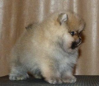 Изображение в Собаки и щенки Продажа собак, щенков Померанский миниатюрный шпиц разные окрасы, в Городовиковске 16000