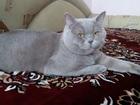 Фотография в Кошки и котята Вязка Кот скоттиш - страйт - лилового цвета, приглашает в Губкине 1000