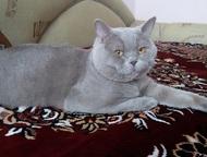 Вязка с британским котом Кот скоттиш - страйт - лилового цвета, приглашает кошеч