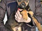 Фото в Домашние животные Собаки и щенки Ищет ответственных хозяев самый красивый в Хабаровске 0