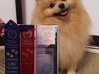 Скачать фото Вязка собак Ищем сучку для вязки породы шпиц , 68212263 в Ханты-Мансийске