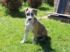 Изображение в Собаки и щенки Продажа собак, щенков Профессиональный племенной питомник Amstaff в Химки 20000