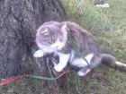 Сибирский кот ищет вторую половинку (порода не имеет значения)