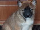 Продаются щенки восточно-сибирской лайки от рабочих родителей