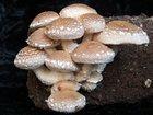 Скачать изображение  Выращивание грибов шиитаке дома 33389965 в Иваново