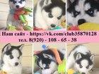 Фотография в Собаки и щенки Продажа собак, щенков В продаже - голубоглазые чёрно-белые щенки в Иваново 0