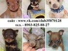 Фотография в Собаки и щенки Продажа собак, щенков В продаже замечательные чистокровные щеночки в Иваново 6500